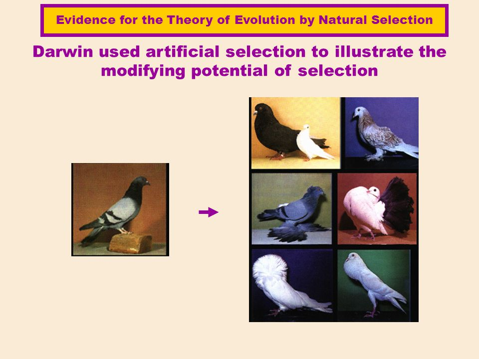 Darwin used artificial selection to illustrate the modifying potential of selection Evidence for the Theory of Evolution by Natural Selection