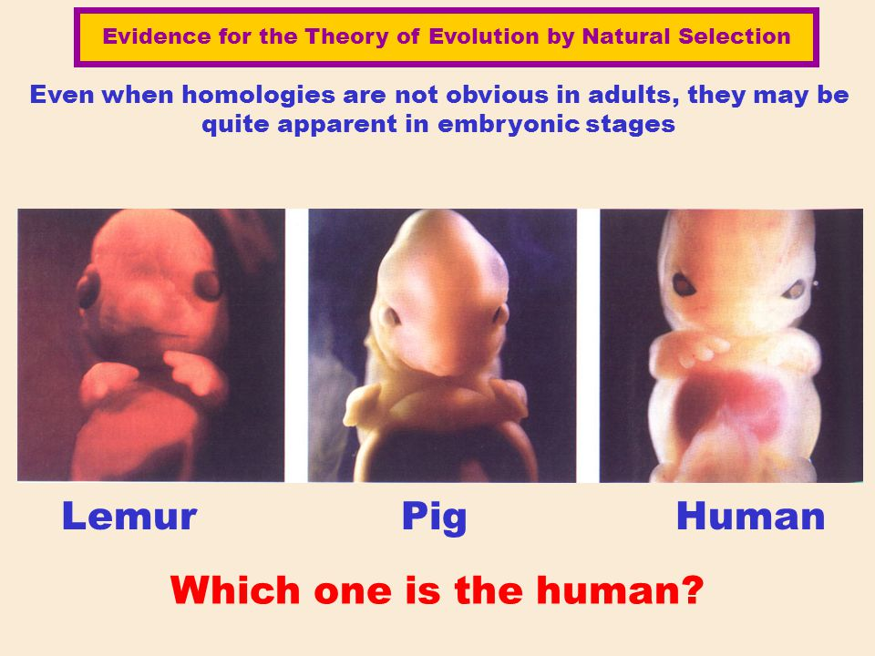 Even when homologies are not obvious in adults, they may be quite apparent in embryonic stages Lemur Pig Human Which one is the human? Evidence for th