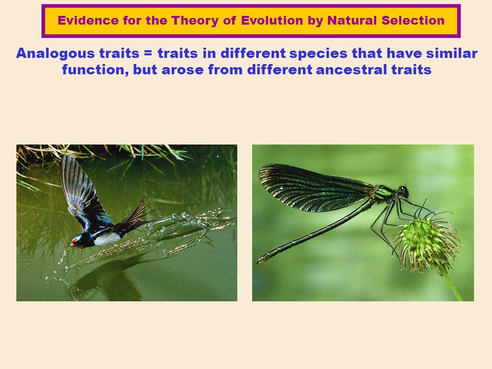 Analogous traits = traits in different species that have similar function, but arose from different ancestral traits Evidence for the Theory of Evolut