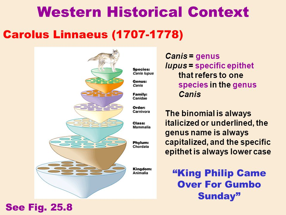 "Western Historical Context Carolus Linnaeus (1707-1778) ""King Philip Came Over For Gumbo Sunday"" Canis = genus lupus = specific epithet that refers to"