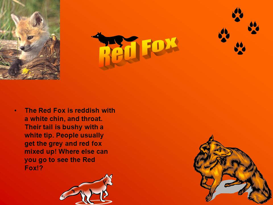 The Red Fox is reddish with a white chin, and throat.
