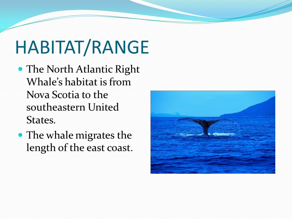 HABITAT/RANGE The North Atlantic Right Whale's habitat is from Nova Scotia to the southeastern United States.