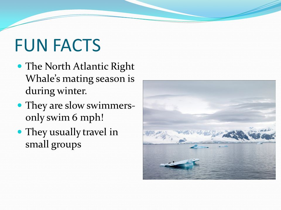 FUN FACTS The North Atlantic Right Whale's mating season is during winter.