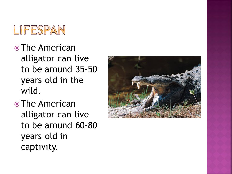  The American alligator can live to be around 35-50 years old in the wild.