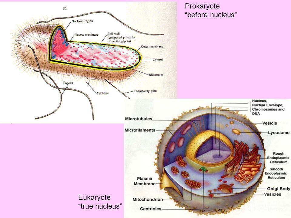 """Prokaryote """"before nucleus"""" Eukaryote """"true nucleus"""""""