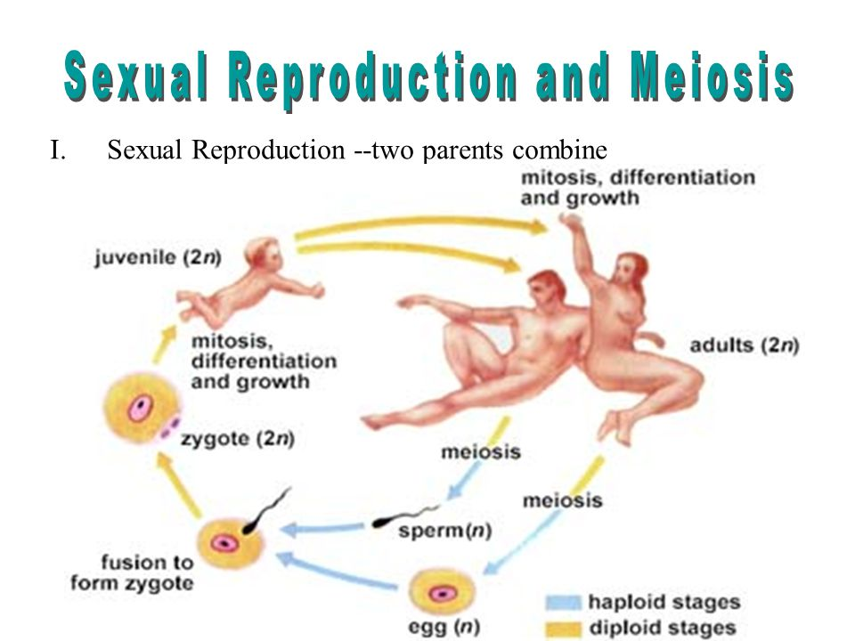 1.The sex cell from the male parent is sperm. a.