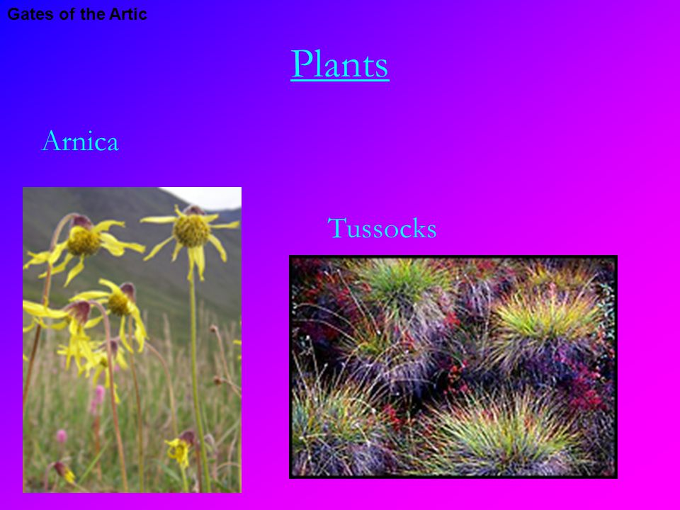 Plants Arnica Tussocks Gates of the Artic