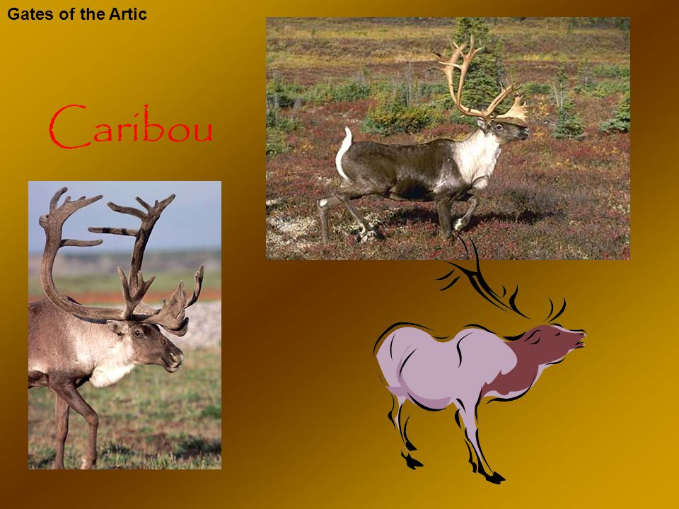 Caribou Gates of the Artic Caribou