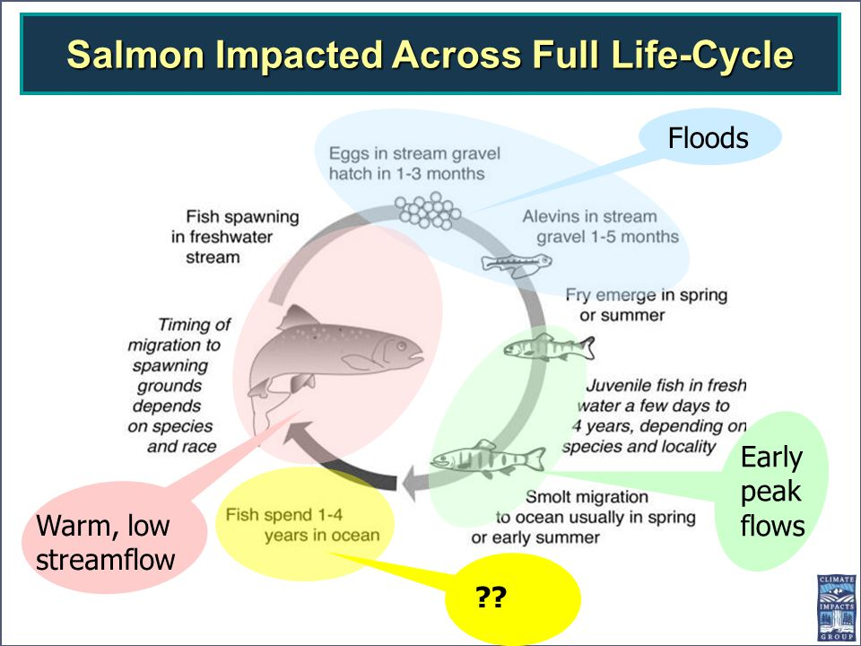 Early peak flows Floods ?? Warm, low streamflow Salmon Impacted Across Full Life-Cycle