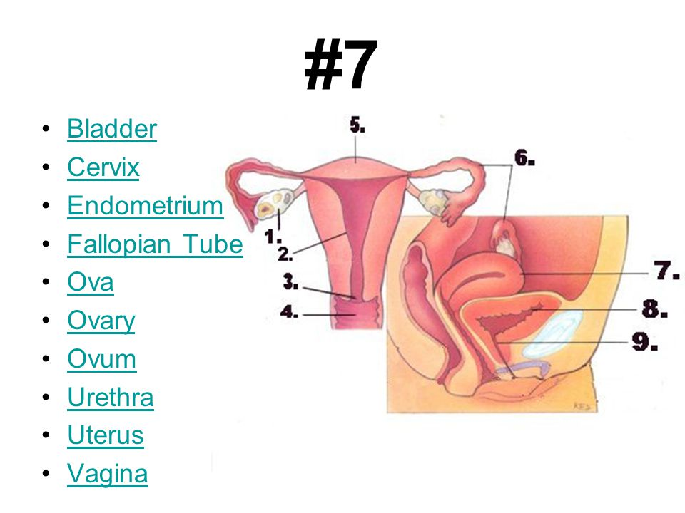 Correct Answer. Fallopian Tubes - A pair of narrow tubes that carry the ovum (egg) from the ovary to the uterus.