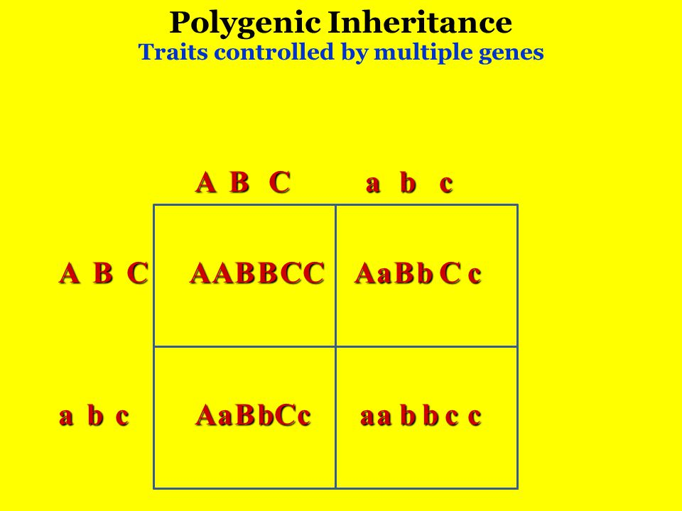 Polygenic Inheritance Traits controlled by multiple genes ABC ABC abc abc AABBCCAaBbCc AaBbCcaabbcc