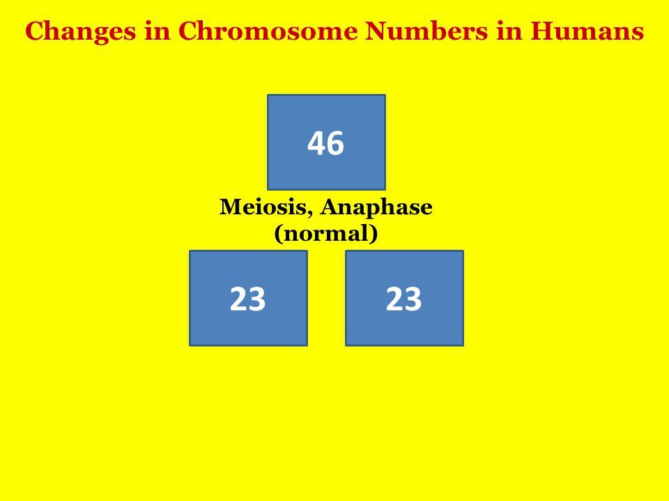 Changes in Chromosome Numbers in Humans 46 23 Meiosis, Anaphase (normal)