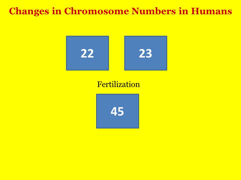 Changes in Chromosome Numbers in Humans 45 2223 Fertilization