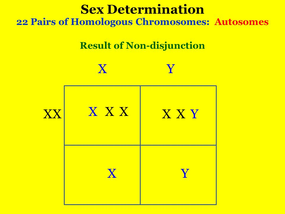 Sex Determination 22 Pairs of Homologous Chromosomes: Autosomes X XX Y X XX YX Y Result of Non-disjunction X X