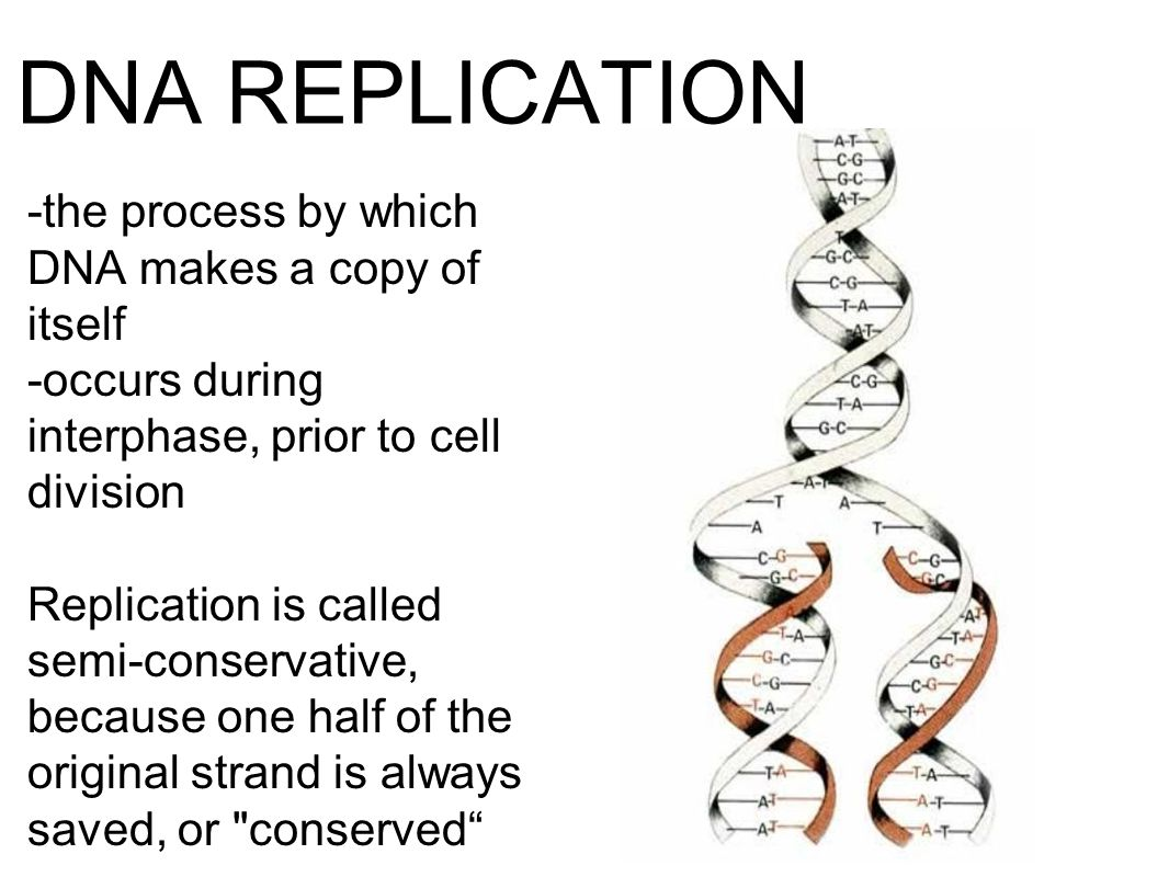 DNA REPLICATION -the process by which DNA makes a copy of itself -occurs during interphase, prior to cell division Replication is called semi-conservative, because one half of the original strand is always saved, or conserved