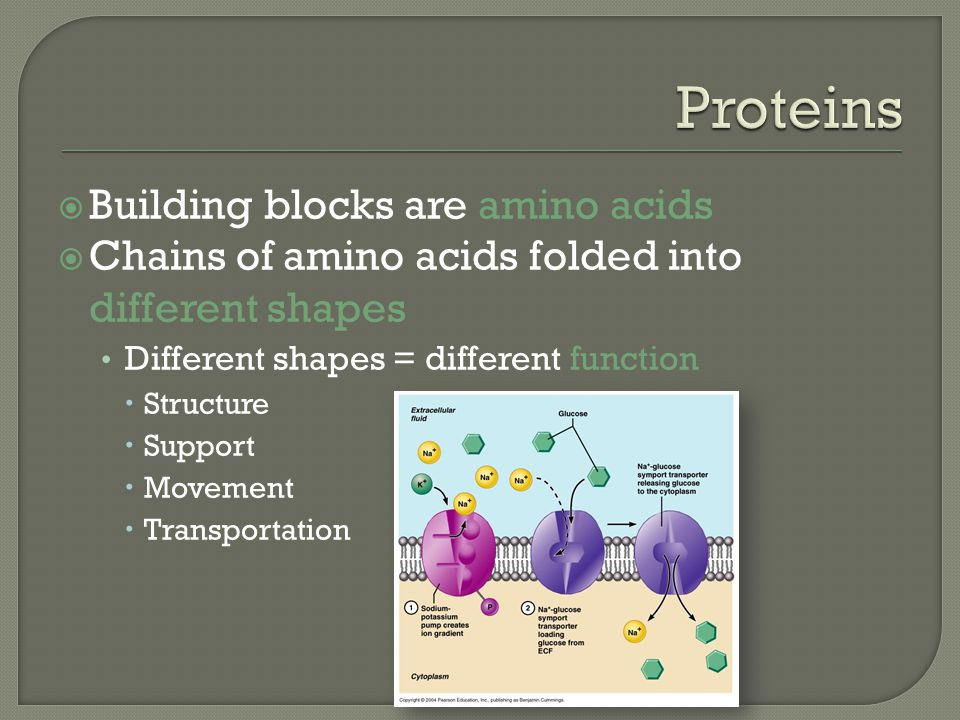  Building blocks are amino acids  Chains of amino acids folded into different shapes Different shapes = different function  Structure  Support  M
