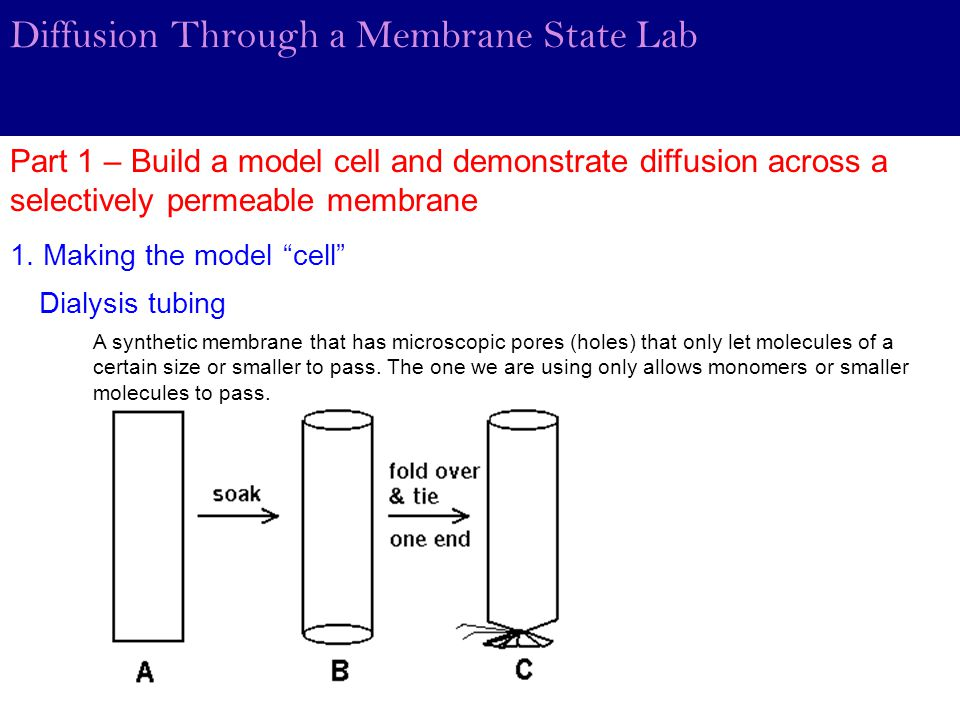 Diffusion Through a Membrane State Lab Part 1 – Build a model cell and demonstrate diffusion across a selectively permeable membrane Dialysis tubing 1