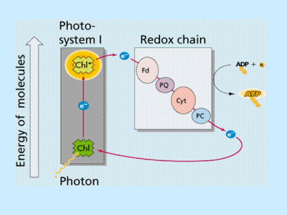 CALVIN CYCLE Pathway that produces organic compounds, using energy stored in ATP and NADPH from the light reactions Occurs in the stroma CO 2 is fixed into organic compounds RuBP (ribulose bisphosphate) is the 5 carbon sugar that CO 2 is bound to by the enzyme rubisco