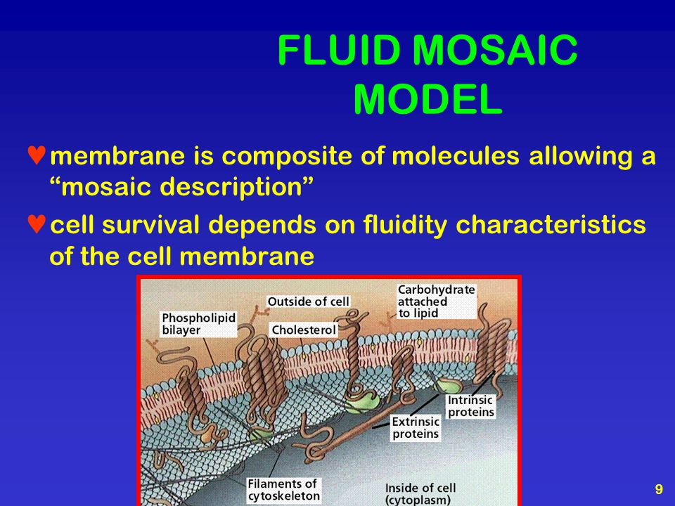 "9 FLUID MOSAIC MODEL membrane is composite of molecules allowing a ""mosaic description"" cell survival depends on fluidity characteristics of the cell"