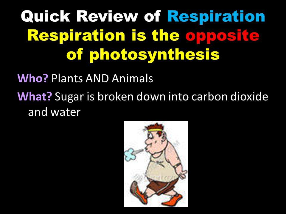 EQUATION FOR RESPIRATION C 6 H 12 O 6 + GLUCOSE 6O 2 OXYGEN 6CO 2 + CARBON DIOXIDE 6H 2 O + ENERGY WATER ATP