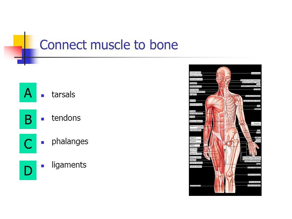 A B D C Example of irregular bone phalanges metacarpals radius vertebra