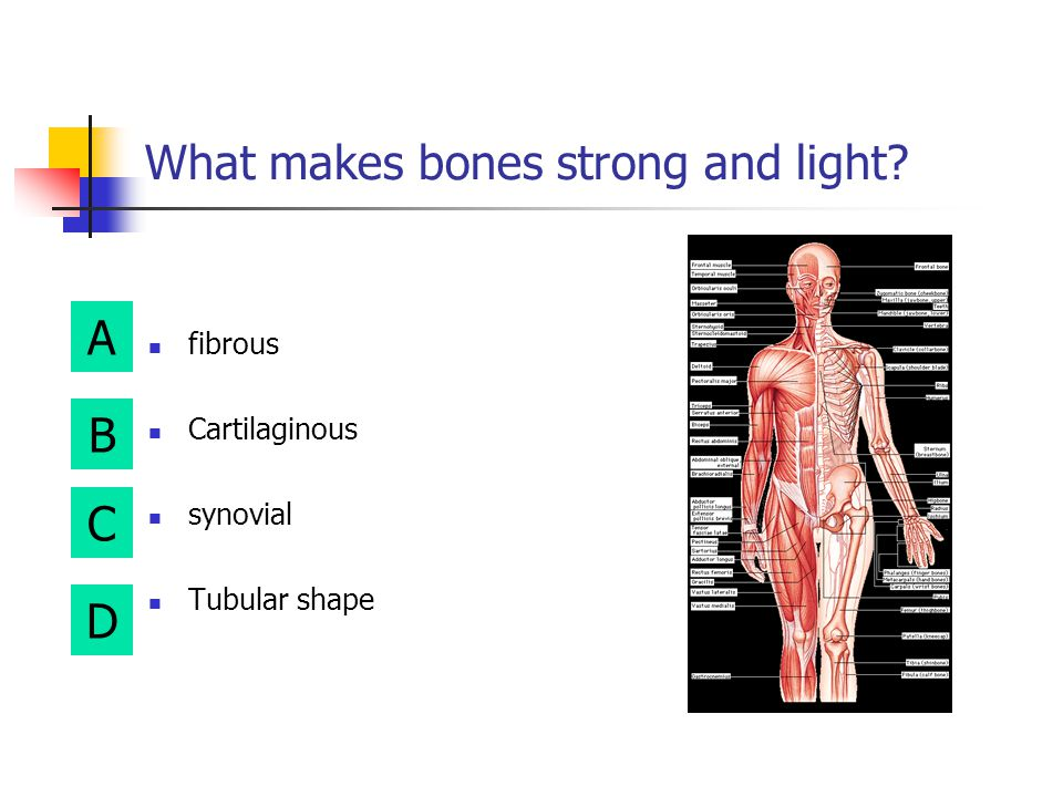 A B D C red marrow is located here Periosteum Spongy bone Articular cartilage Compact bone