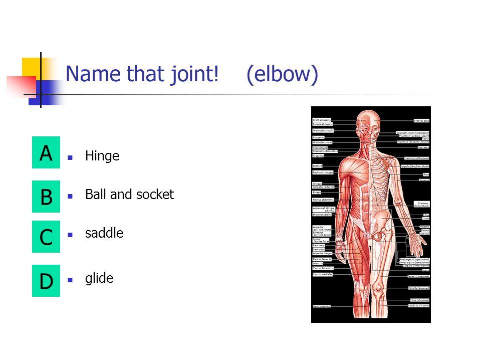 A B D C Name that joint! (shoulder) hinge Ball and socket saddle glide