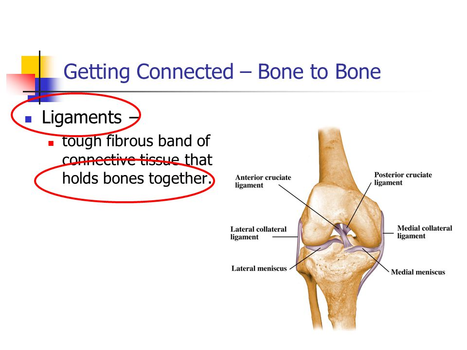 Getting Connected – Bone to Bone Ligaments – tough fibrous band of connective tissue that holds bones together.