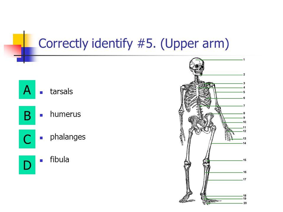 A B D C Correctly identify #3. (Collarbone) phalanges metacarpals radius clavicle
