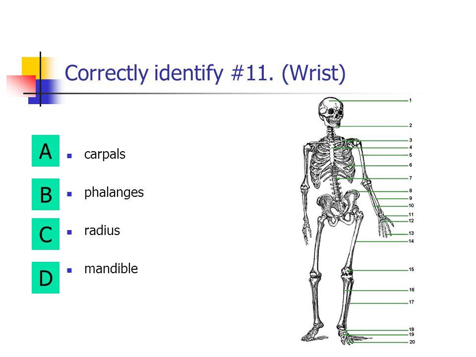A B D C Correctly identify #9. (Lower Arm) humerus fibula radius sternum