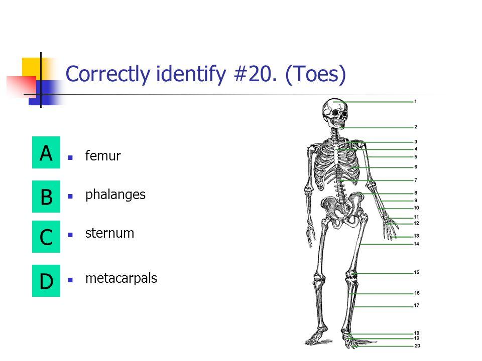 A B D C Correctly identify #19. (Instep) ulna fibula metatarsals metacarpals