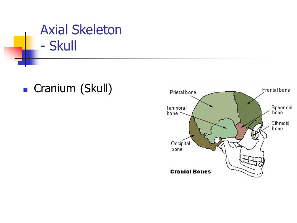 The Skeletal System NJCCCS 5.5 Resources www.training.seer.cancer.gov www.biologydaily.com