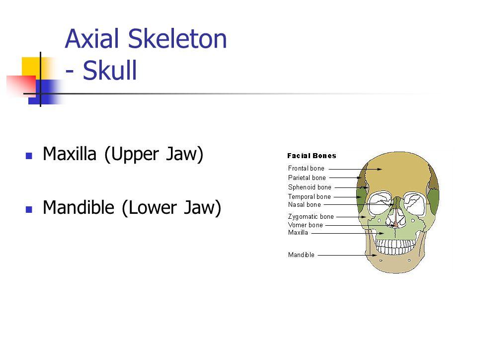 Axial Skeleton - Skull Cranium (Skull)