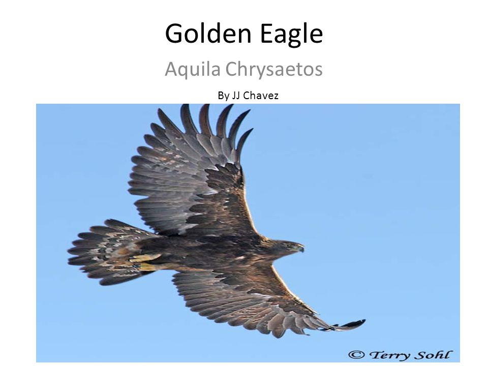 Golden Eagle Aquila Chrysaetos By JJ Chavez