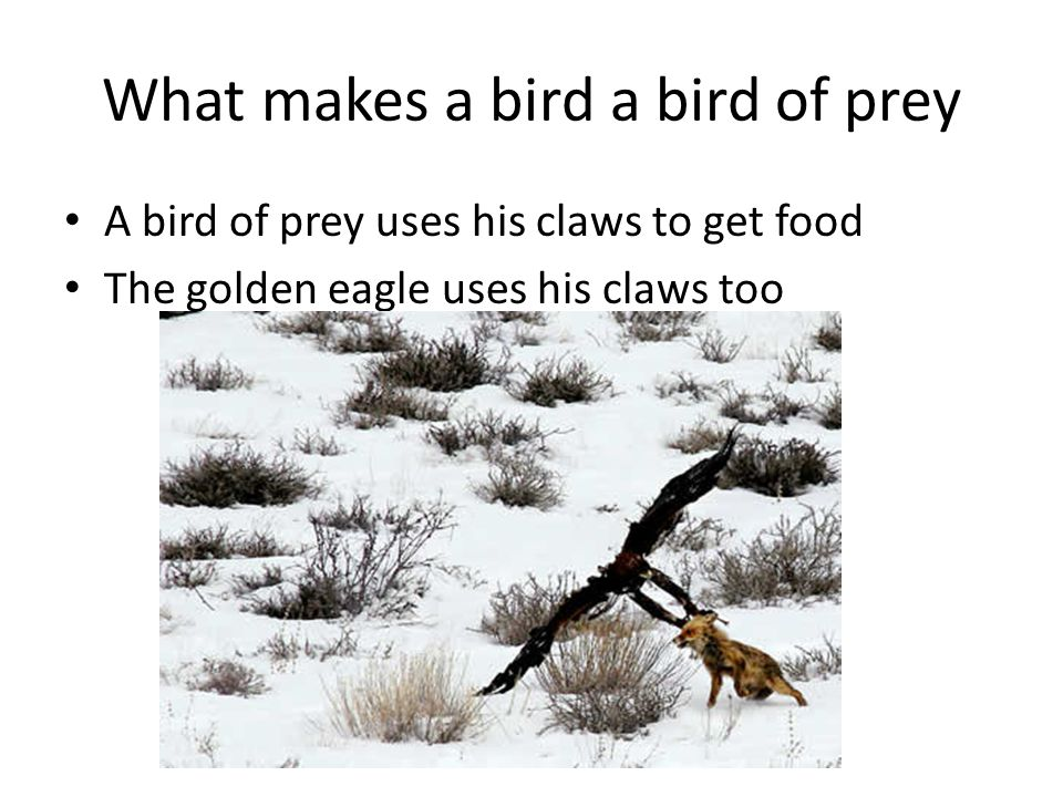 What makes a bird a bird of prey A bird of prey uses his claws to get food The golden eagle uses his claws too