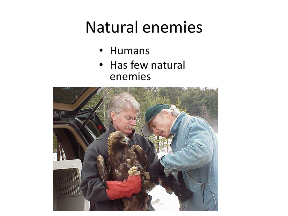 Natural enemies Humans Has few natural enemies