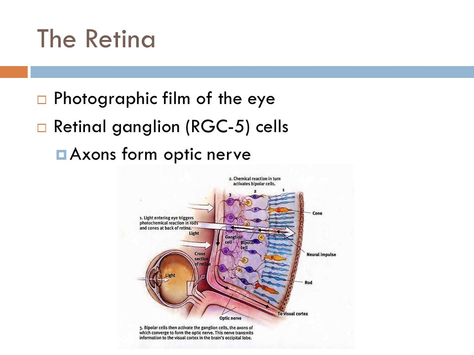 The Retina  Photographic film of the eye  Retinal ganglion (RGC-5) cells  Axons form optic nerve