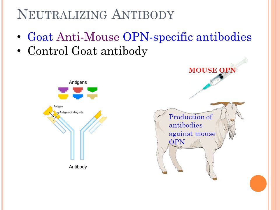 N EUTRALIZING A NTIBODY Goat Anti-Mouse OPN-specific antibodies Control Goat antibody MOUSE OPN Production of antibodies against mouse OPN