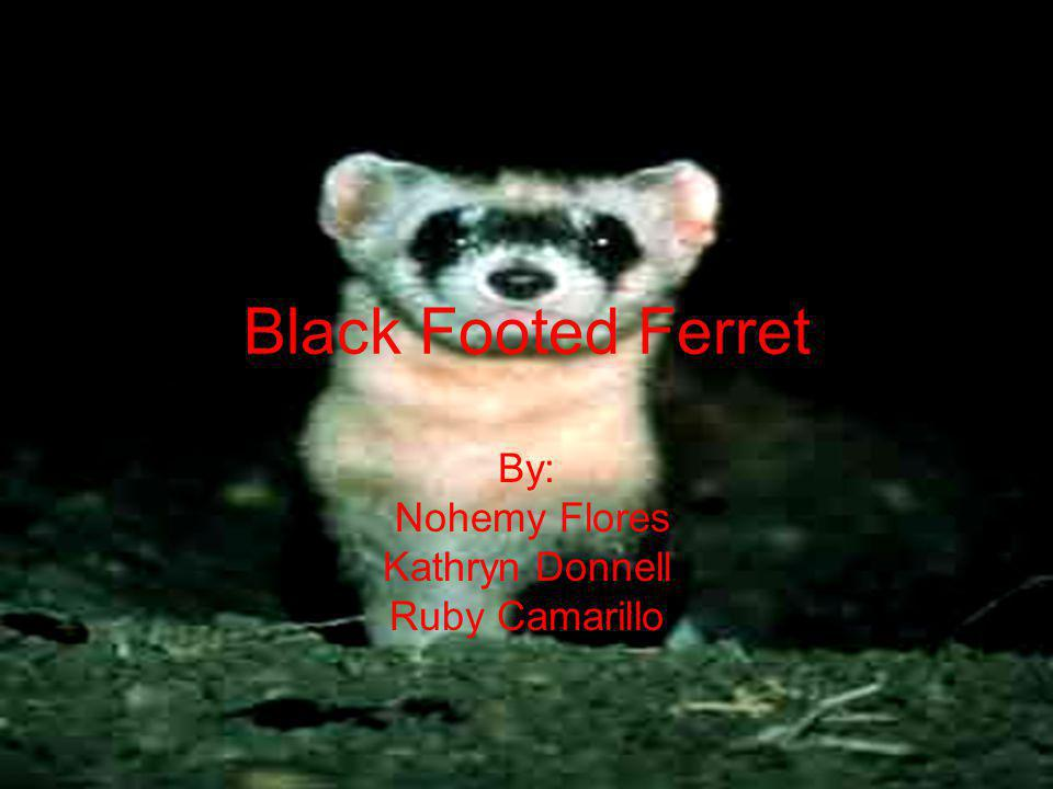 Description… Black footed ferrets are tan, and have black markings on their feet, legs, and the tip of their tails.