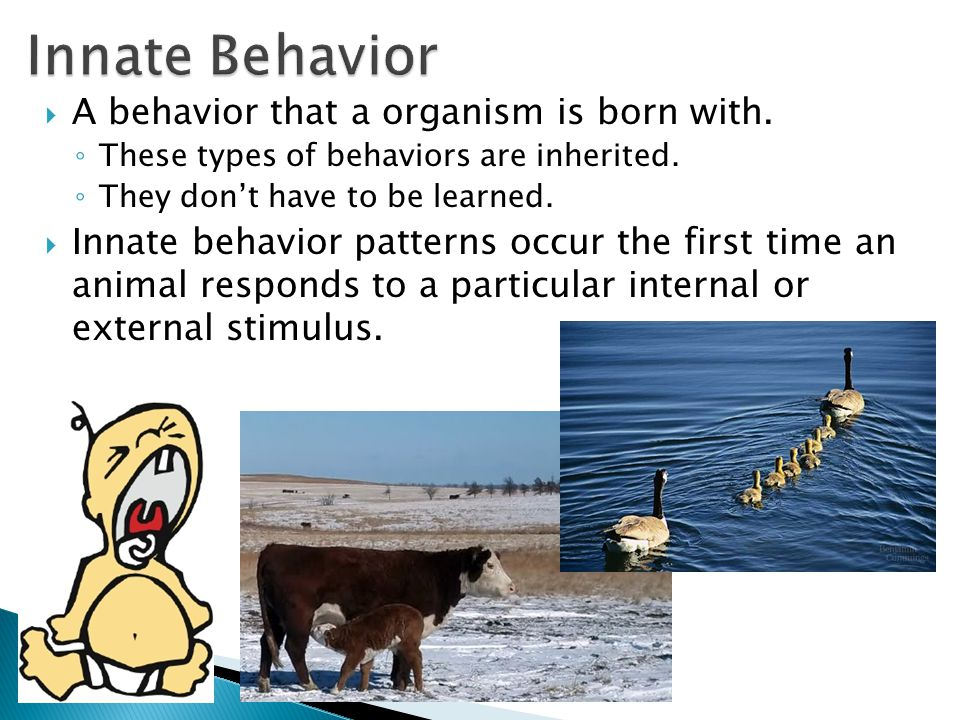  A behavior that a organism is born with. ◦ These types of behaviors are inherited. ◦ They don't have to be learned.  Innate behavior patterns occur