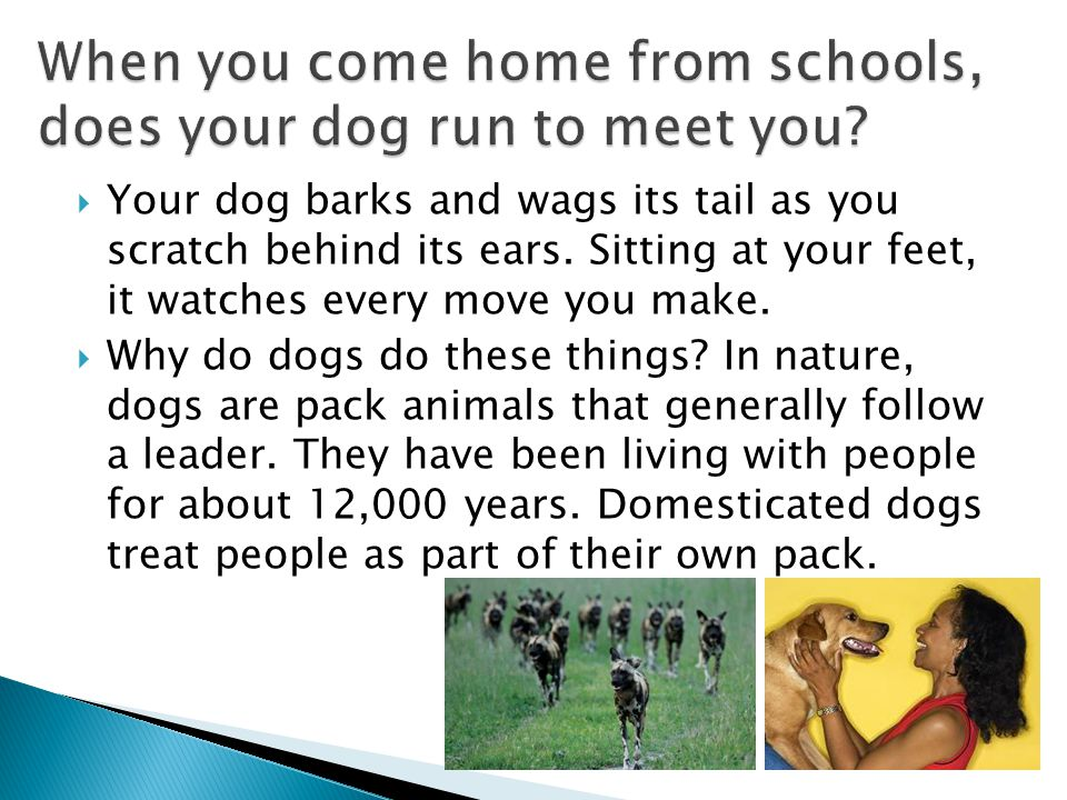  Your dog barks and wags its tail as you scratch behind its ears. Sitting at your feet, it watches every move you make.  Why do dogs do these things