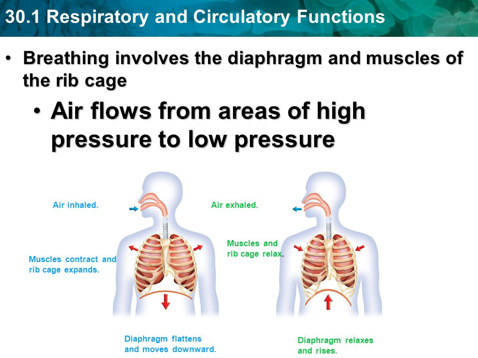 30.1 Respiratory and Circulatory Functions Breathing involves the diaphragm and muscles of the rib cageBreathing involves the diaphragm and muscles of
