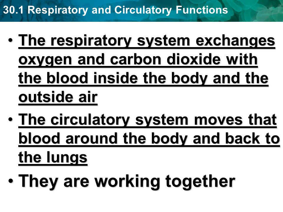 30.1 Respiratory and Circulatory Functions The respiratory system exchanges oxygen and carbon dioxide with the blood inside the body and the outside a