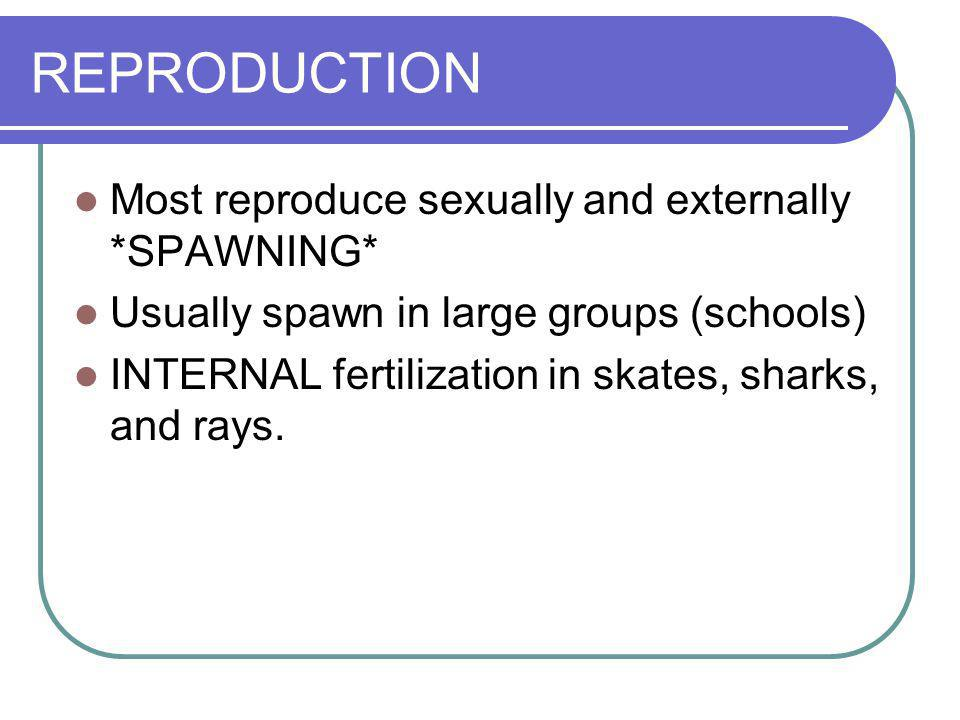 REPRODUCTION Most reproduce sexually and externally *SPAWNING* Usually spawn in large groups (schools) INTERNAL fertilization in skates, sharks, and r