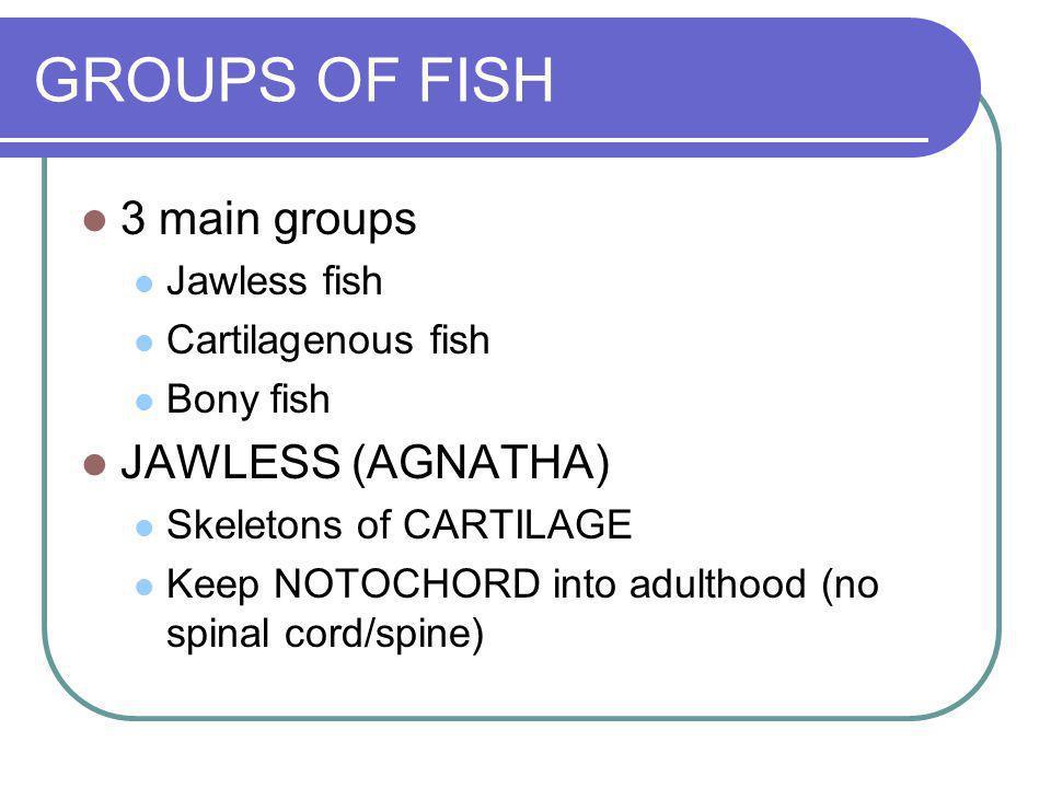 GROUPS OF FISH 3 main groups Jawless fish Cartilagenous fish Bony fish JAWLESS (AGNATHA) Skeletons of CARTILAGE Keep NOTOCHORD into adulthood (no spin