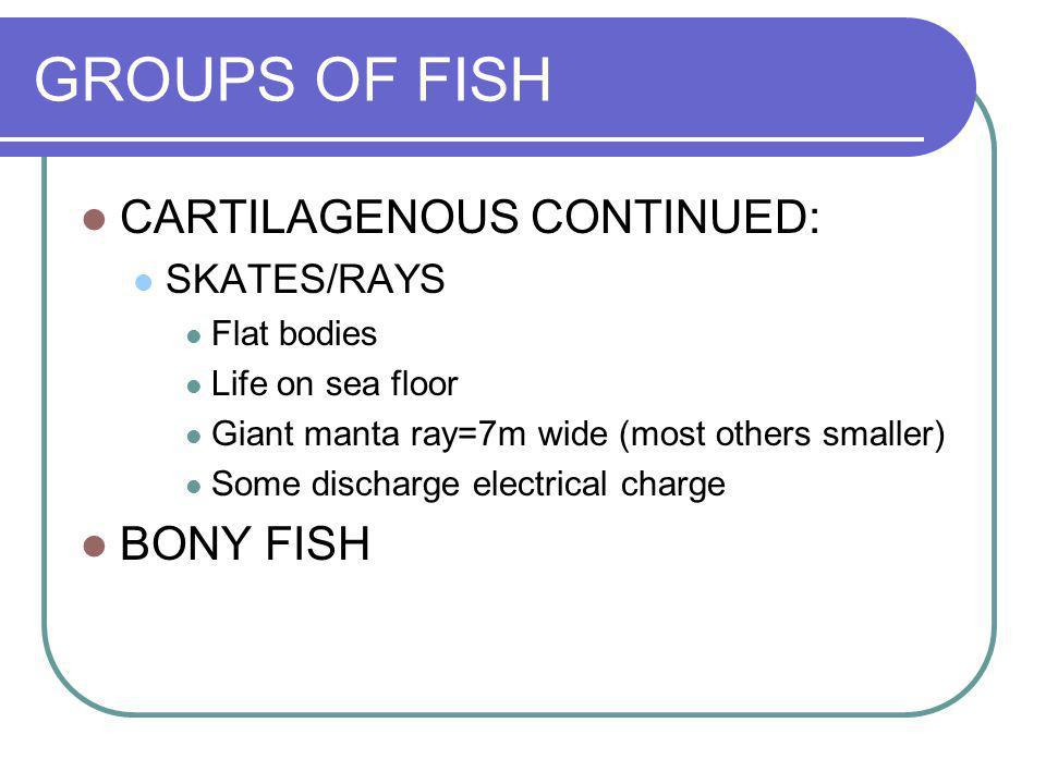 GROUPS OF FISH CARTILAGENOUS CONTINUED: SKATES/RAYS Flat bodies Life on sea floor Giant manta ray=7m wide (most others smaller) Some discharge electri