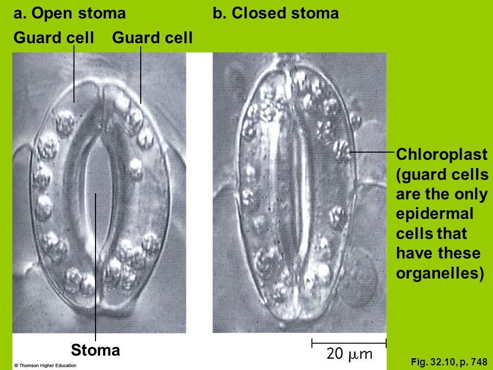 Fig. 32.10, p. 748 Guard cell a. Open stomab. Closed stoma Chloroplast (guard cells are the only epidermal cells that have these organelles) Stoma Gua