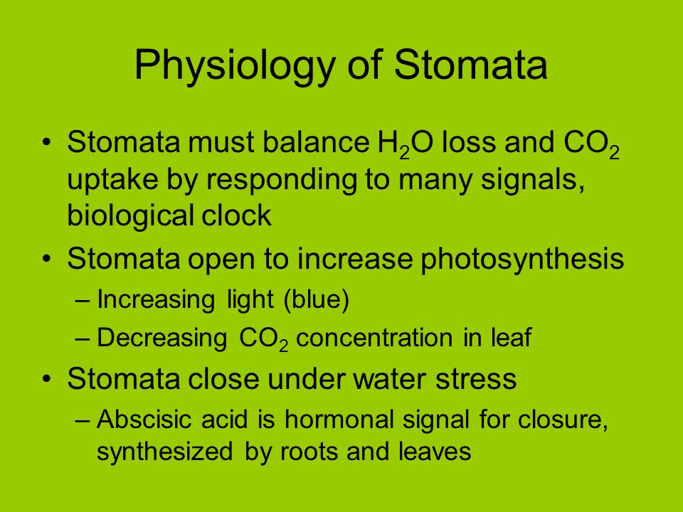 Physiology of Stomata Stomata must balance H 2 O loss and CO 2 uptake by responding to many signals, biological clock Stomata open to increase photosy