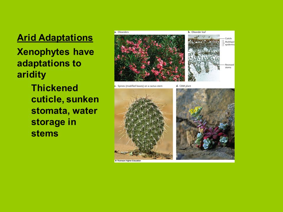 Arid Adaptations Xenophytes have adaptations to aridity Thickened cuticle, sunken stomata, water storage in stems