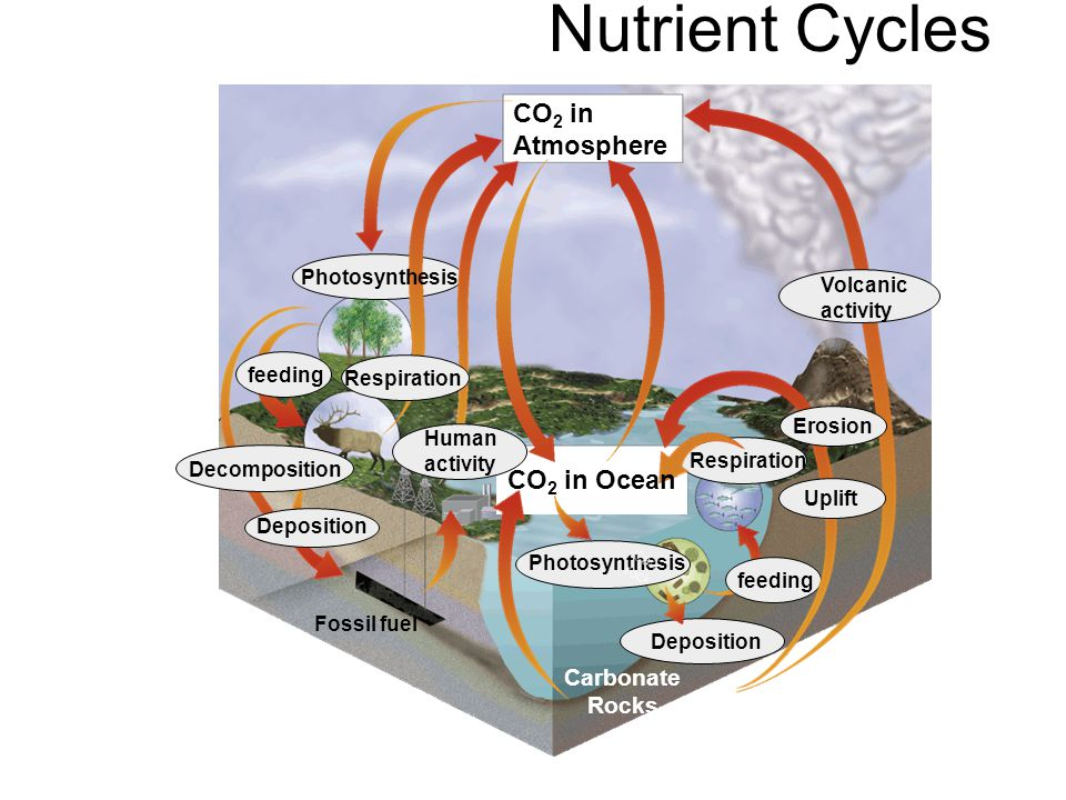 Nutrient Cycles –The Nitrogen Cycle All organisms require nitrogen to make proteins.